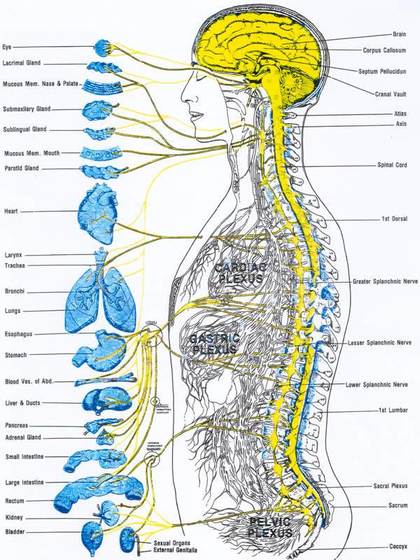 nerve-control-vital-organs_w600